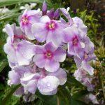 Hoher Stauden Phlox paniculata 'Parmaveilchen' per Bio Pflanzen Versand online im Web Shop nach München bestellen