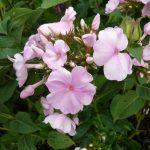 Bio Flammenblume Hoher Stauden Phlox paniculata 'Pinky Hill' Bio Pflanzen Versand Stauden Forssman nahe München