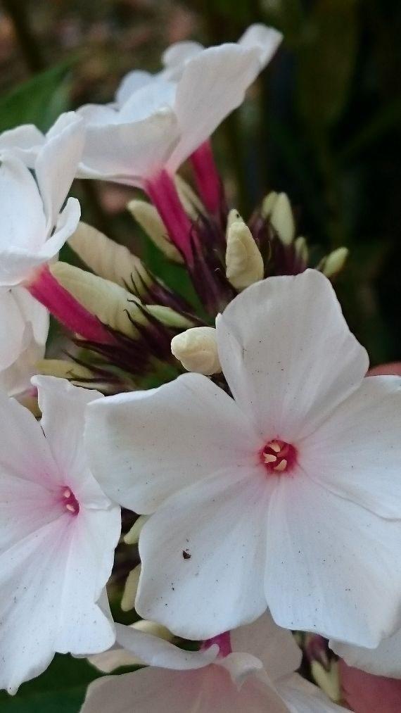 Bio Hoher Stauden Phlox paniculata 'Popeye' 300 Sorten Bio Phlox im Online Pflanzen Versand Stauden Forssman