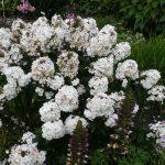 Bio Hoher Stauden Phlox paniculata 'Popeye (a.stine/10)' Stauden Forssman Bio Pflanzen Versand aus Niederbayern