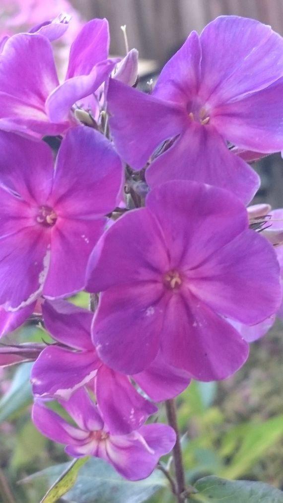 Bio Hoher Stauden Phlox paniculata 'Purpurkuppel' Bio Phlox Ihrer Wahl im Online Pflanzen Versand Stauden Forssman