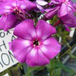 Hoher Stauden-Phlox paniculata 'Shapka Monomakha' Bio-Pflanzen-Versand Stauden Forssman