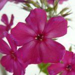 Russische Flammenblume Phlox paniculata 'Taras Shevchenko' Bio Stauden Forssman