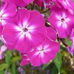 Bio Hoher Stauden Phlox paniculata 'Wennschondennschon'  Bio Pflanzenversand in Niederbayern