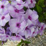 Bio Flammenblume Phlox paniculata 'Zolushka' Gärtnerei Forssman Beste Biostauden aus Bayern