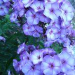 Bio Frühsommer Phlox x arendsii 'Purple Star' Forssman Bio Pflanzenversand in Niederbayern