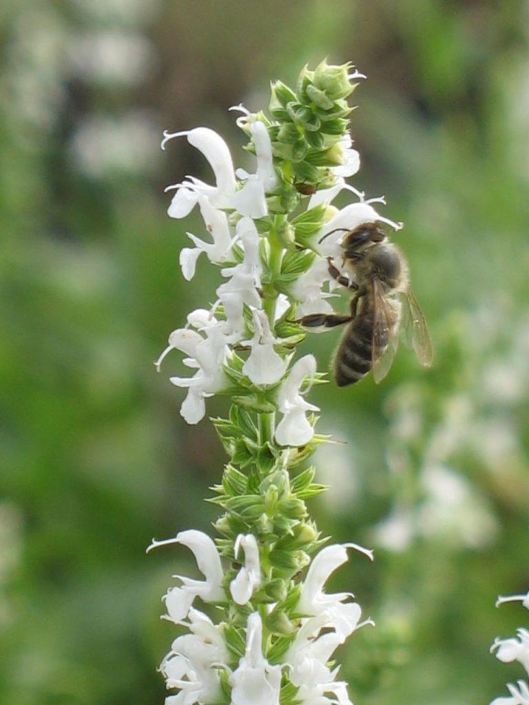Salvia nemorosa 'Adrian' Biene an Bio Salbei in der Stauden Gärtnerei Forssman