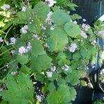 Bio Wiesenraute Thalictrum actaefolium 'Perfume Star' Bio Blumen Versand Forssman aus Niederbayern