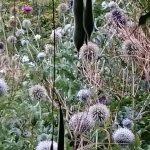Bio Kugeldistel Echinops ritro 'Veitch's Blue' Bio Kräuter Online im Web Shop von Bio Stauden Forssman zum Versand bestellen