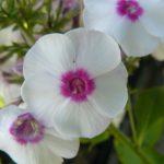 Hohe Flammenblume Phlox paniculata 'Zauberspiel' Beste Bio Stauden aus Bayern Stauden Forssman