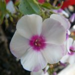 Hohe Flammenblume Phlox paniculata 'Zauberspiel' Bio Stauden Forssman