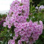 Bio Wiesen Phlox maculata 'Natasha' Gärtnerei Forssman Beste Bio Stauden aus Bayern