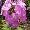 Flammenblume Hoher Stauden Phlox paniculata 'Florans' Forssman Bio Pflanzenversand in Niederbayern