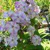 Flammenblume Hoher Stauden Phlox paniculata 'Shalun' Forssman Bio Pflanzenversand in Niederbayern