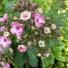 Phlox paniculata 'Aureole' Stauden Forssman Beste Bio Stauden aus Bayern