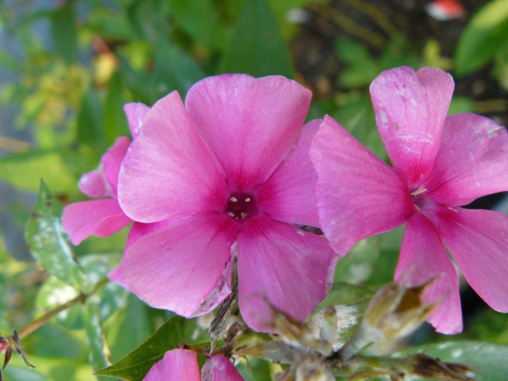 Hohe Flammenblume Phlox paniculata 'Cherry Pink' Bio Stauden Forssman