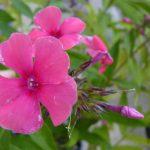 Hohe Flammenblume Phlox paniculata 'Cherry Pink' Beste Bio Stauden aus Bayern Gärtnerei Forssman