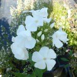 Hohe Flammenblume Phlox paniculata 'Diana' Bio Stauden Forssman