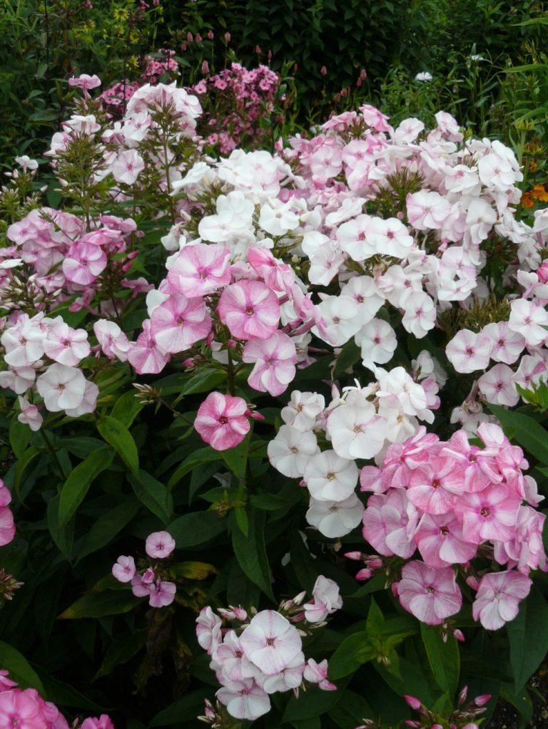 Flammenblume Phlox paniculata 'Eis und Heiss' Bio Pflanzen Versand Stauden Forssman
