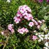 Hoher Sommer Phlox paniculata 'Erinnerung an Richard Ebel' Bio Pflanzen Versand Stauden Forssman