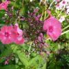 Flammenblume Phlox paniculata 'Himbeerzwerg' Bio Pflanzen Versand Stauden Forssman