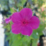 Hohe Flammenblume Phlox paniculata 'Karminvorläufer' Bio Stauden Forssman