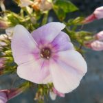 Hohe Flammenblume Phlox paniculata 'Polarfuchs' Bio Stauden Forssman