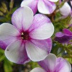 Hohe Flammenblume Phlox paniculata 'Purpurlicht' Bio Stauden Forssman