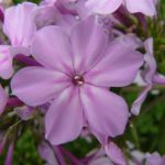 Flammenblume Phlox paniculata 'Reverans' Bio Stauden Forssman