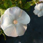 Flammenblume Phlox paniculata 'Romanze' Bio Pflanzen Versand Stauden Forssman