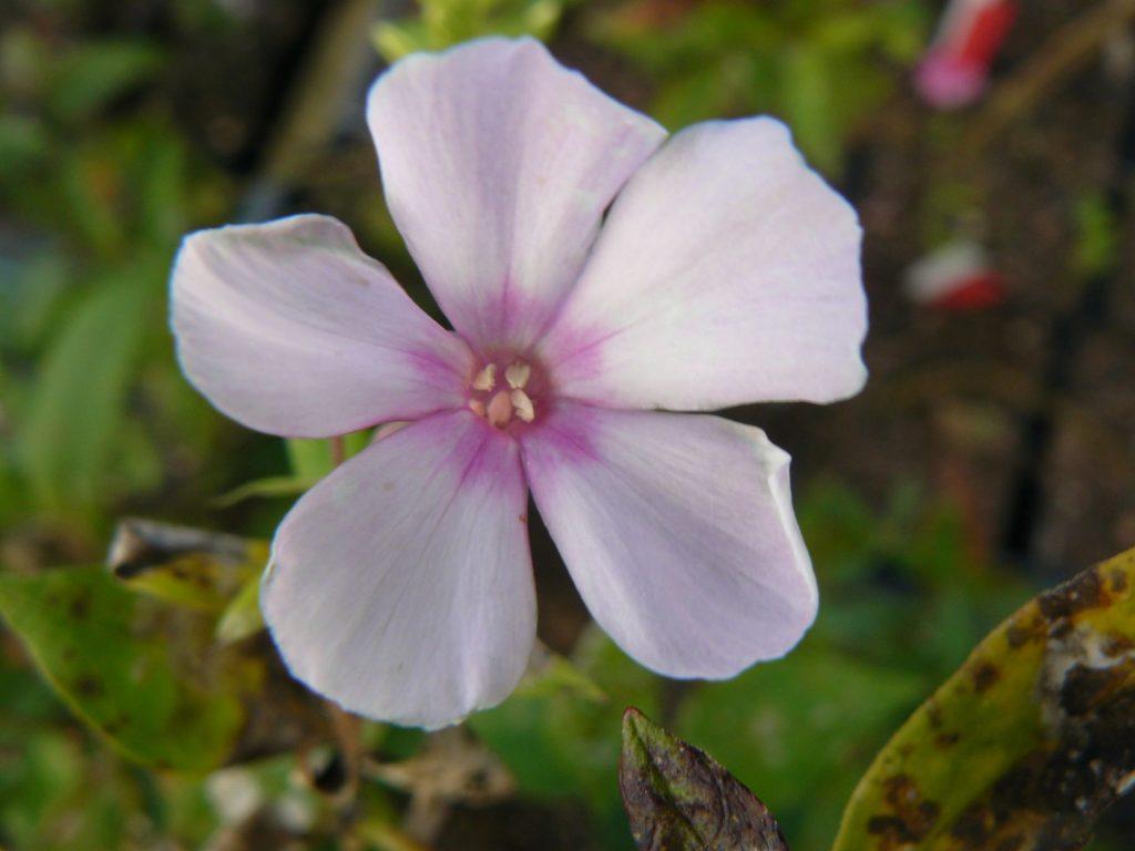 Hohe Flammenblume Phlox paniculata 'Rosi' Bio Stauden Forssman