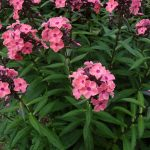 Hoher Sommer Phlox paniculata 'Sweet Summer Dream/Magical Dream' Gärtnerei Forssman Beste Bio Stauden aus Bayern
