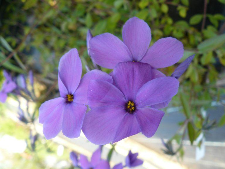 Bio Wander Phlox stolonifera 'Violet Velvet' Gärtnerei Forssman Beste Bio Stauden aus Bayern