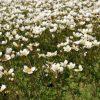 Saxifraga x arendsii 'Schneeweißchen'  Stauden Forssman - Beste Bio Stauden aus Bayern