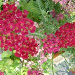 Schafgarbe Achillea x millefolium 'Pomegranate' Bio Kräuter Online im Web-Shop von Bio Stauden Forssman zum Versand bestellen