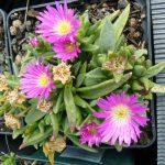 Delosperma floribundum Bio Kräuter Online im Web Shop von Bio Stauden Forssman zum Versand bestellen