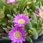 Delosperma harazianum Bio Kräuter Online im Web Shop von Bio Stauden Forssman zum Versand bestellen