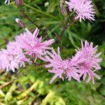 Bio Lychnis flos-cuculi 'Petite Jenny' Stauden Forssman Bio Pflanzen Versand aus Niederbayern