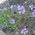 Bio Wald Phlox divaricata 'Eco Texas Purple' Bio Pflanzen Versand Stauden Forssman nahe München