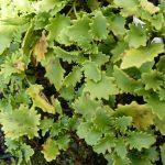 Bio Fetthenne Fettblatt Sedum populifolium Bio Kräuter Online im Web Shop von Bio Stauden Forssman zum Versand bestellen