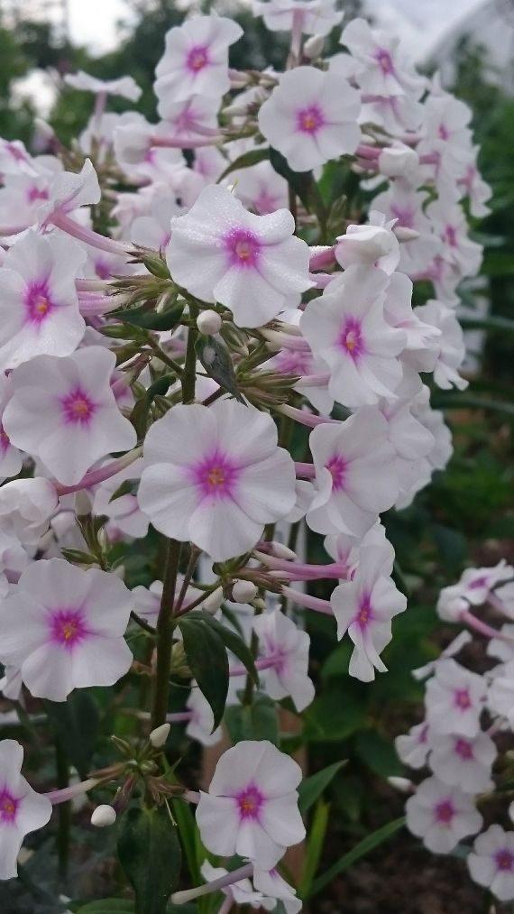 Bio Russen Flammenblume Hoher Stauden Phlox paniculata 'Ljeto' Forssman Bio Pflanzenversand in Niederbayern