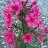 Phlox paniculata 'Roter Gnom' Beste Bio Stauden aus Bayern