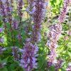 Agastache foeniculum 'Purple Haze' Stauden Forssman Beste Bio Stauden aus Bayern