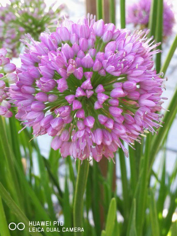Bio Lauch Allium senescens 'Millenium' Stauden Forssman Bio Pflanzen Versand aus Niederbayern