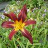 Bio Taglilie Hemerocallis hyb. 'Black Plush' Bio Stauden Versand in Niederbayern Forssman