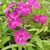 Phlox paniculata 'Liz Taylor' Russische Phlox-Spezialitäten bei Stauden Forssman