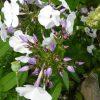 Phlox paniculata 'Ladoga' Russische Phlox-Spezialitäten bei Stauden Forssman