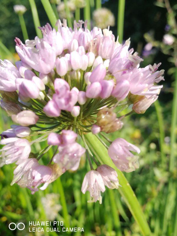 Allium 'Tasty Surprise' Stauden Forssman Bio Pflanzen Versand mit Online Shop