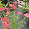 Achillea x millefolium 'New Vintage Red'   Stauden Forssman Beste Bio Stauden aus Bayern